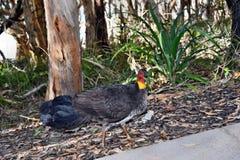 Australisk borste Turkiet på skog arkivfoton