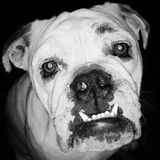 Australisk bulldogg Royaltyfria Foton