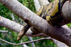 Australisk djungelmattpytonorm Royaltyfria Bilder