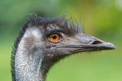 Australisk emu (Dromaiusnovaehollandiae) Royaltyfri Bild