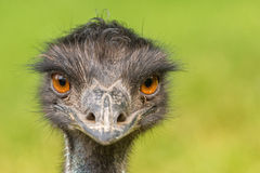 Australisk emu (Dromaiusnovaehollandiae) Arkivfoton