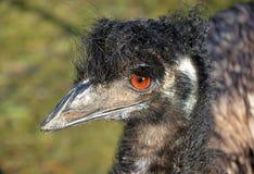 Australisk emu i profil Arkivbilder