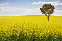 Australisk eukalyptusträd i fält av canola arkivfoton