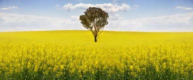 Australisk eukalyptusträd i fält av canola Royaltyfri Foto