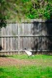 Australisk fågel som baktill söker efter gården för mat runt om Brisbane, Australien Australien är en kontinent som lokaliseras i royaltyfria foton