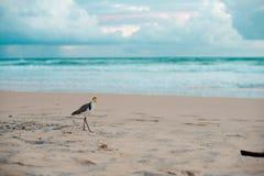 Australisk fågel som går för mat på stranden runt om Brisbane, Australien Australien är en kontinent som lokaliseras i den södra  royaltyfri fotografi