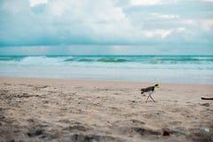 Australisk fågel som går för mat på stranden runt om Brisbane, Australien Australien är en kontinent som lokaliseras i den södra  arkivfoton