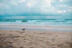 Australisk fågel som går för mat på stranden runt om Brisbane, Australien Australien är en kontinent som lokaliseras i den södra  fotografering för bildbyråer