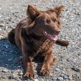 Australisk herde, hund arkivfoto