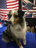 Australisk herde på hundshowen Arkivfoto