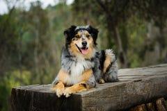 Australisk herdehund som ner ligger Arkivbild