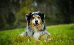 Australisk herdehund som ner ligger i gräsfält Royaltyfri Bild