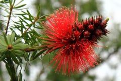 Australisk infödd Bottlebrush Fotografering för Bildbyråer