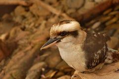 Australisk infödd fågel fotografering för bildbyråer
