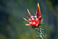 Australisk infödd Lambertia formosa för blommor för bergjäkel royaltyfria bilder