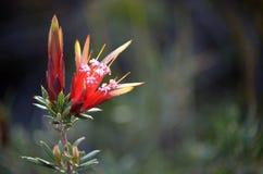 Australisk infödd Lambertia formosa för blommor för bergjäkel arkivbild