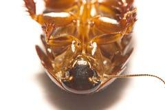 Australisk jätte- gräva kackerlacka på vit bakgrund Arkivbilder