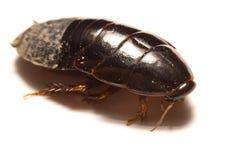 Australisk jätte- gräva kackerlacka på vit bakgrund Arkivfoton