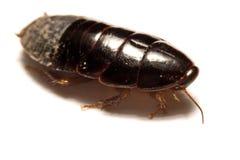 Australisk jätte- gräva kackerlacka på vit bakgrund Arkivfoto