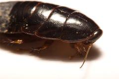 Australisk jätte- gräva kackerlacka på vit bakgrund Arkivbild