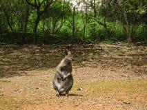 Australisk känguru i hans naturliga livsmiljö i zoo i Tjeckien arkivfoton