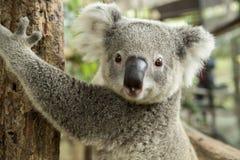 Australisk koala som sitter på en filial Arkivbild