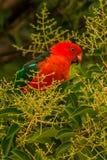 Australisk konung Parrot Alisterus Scapularis Canberra royaltyfri bild