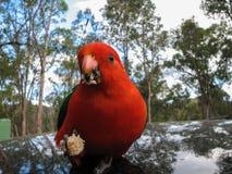 Australisk konung Parrot Closeup Fotografering för Bildbyråer