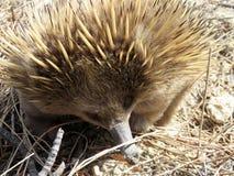 Australisk Kort-näbbformig Echidna Forgaing Arkivfoton