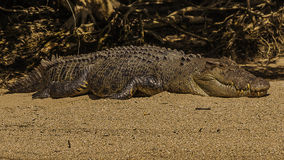 Australisk krokodil för salt vatten Royaltyfria Bilder