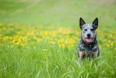 Australisk nötkreaturhund på maskrosäng arkivfoto