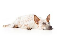 Australisk nötkreaturhund som lägger och ser upp Arkivfoto