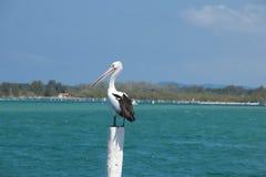Australisk pelikan Royaltyfria Bilder