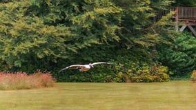 Australisk pelikan i flykten Fotografering för Bildbyråer