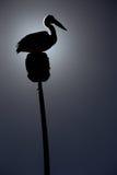 Australisk pelikan i kontur Arkivbilder