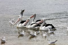 Australisk pelikan, Pelecanusconspicillatus Arkivfoton