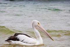 Australisk pelikan som driver på havvågor Arkivbilder