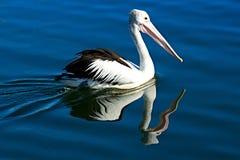 Australisk pelikanfågel, Pelecanusconspicillatus, närbildsimning med vattenreflexioner Royaltyfria Foton