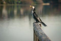 Australisk Pied kormoran Fotografering för Bildbyråer
