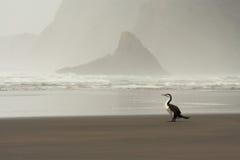 Australisk Pied kormoran Arkivfoto
