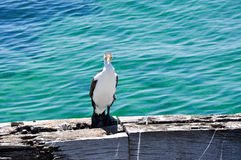 Australisk Pied kormoran på bryggakanten Fotografering för Bildbyråer