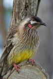 Australisk röd Wattle-fågel Honeyeater Arkivbild