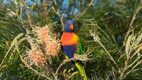 Australisk regnbågelorikeet sätta sig på en banksiabuske royaltyfri foto