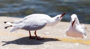 Australisk Seagull som varnar Aggressively av en annan fiskmås Royaltyfri Bild