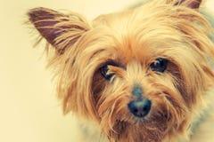 Australisk silkeslena Terrier hund Royaltyfri Fotografi