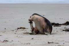 Australisk sjölejon, cinerea Neophoca Fotografering för Bildbyråer