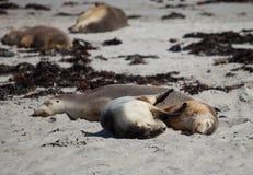 Australisk sj?lejon f?r gulliga par, cinerea som Neophoca sover och kramar p? stranden p? skyddsremsafj?rden, k?nguru?, s?der arkivfoton