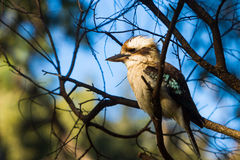 Australisk skratta skrattfågel i busken Arkivbilder