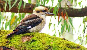 Australisk skrattfågel i Bush Arkivbild
