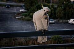 Australisk Sulphur krönad kakaduanärbild Royaltyfri Bild